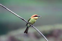 oiseau à tête de châtaigne d'Abeille-mangeur Images libres de droits