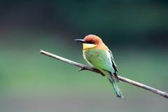 oiseau à tête de châtaigne d'Abeille-mangeur Image libre de droits