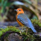 oiseau à tête orange de grive photos libres de droits