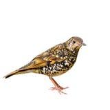 Oiseau écallieux de grive photographie stock