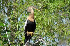 Héron dans l'arbre dans les marais Photographie stock