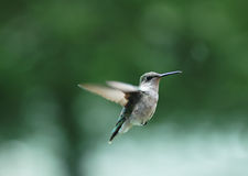 Oiseau 2 de ronflement image libre de droits
