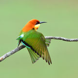 Oiseau (Abeille-mangeurs à tête de châtaigne), Thaïlande Images libres de droits