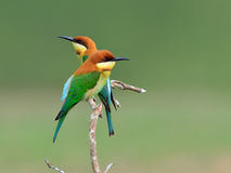 Oiseau (Abeille-mangeurs à tête de châtaigne), Thaïlande Photographie stock libre de droits