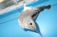 Oiseau accrochant sur une porte bleue Photographie stock libre de droits