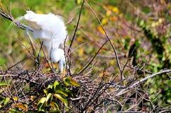 Oiseau adulte de héron dans l'emboîtement de plumage d'élevage Photo libre de droits