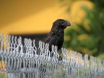 Oiseau affiché lisse noir d'Ani tranquillement été perché photographie stock libre de droits