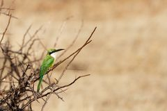 Oiseau africain Photo stock