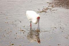 Oiseau africain de spatule Photo libre de droits
