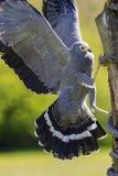 Oiseau africain magnifique de gymnogene de faucon de harrier de s'élever de proie Photo libre de droits