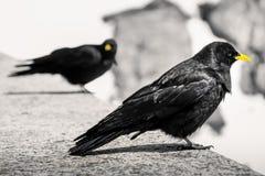 Oiseau alpestre noir Photo libre de droits