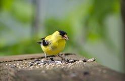 Oiseau américain de chardonneret mangeant la graine pour les oiseaux Image libre de droits
