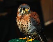 Oiseau américain de crécerelle Image stock