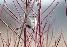 Oiseau américain de moineau d'arbre à l'aire de loisirs de trois chênes photographie stock