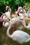 Oiseau aquatique de flamant Images stock