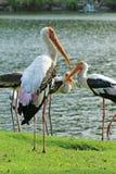 Oiseau aquatique de flamant Photographie stock libre de droits