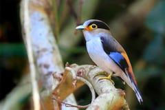 Oiseau, argent-breasted Broadbill Photographie stock libre de droits
