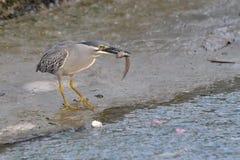Oiseau attrapant sa proie Image stock