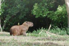 Oiseau au dos d'un capybara Photos libres de droits
