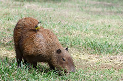 Oiseau au dos d'un capybara Photo stock