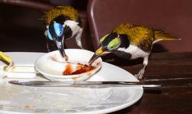 oiseau au visage bleu de honeyeater Photo libre de droits