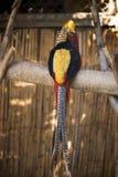 Oiseau audacieux d'or photo stock
