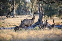 Oiseau australien incapable de voler, l'émeu Image stock