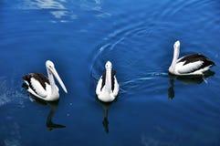 oiseau australien Tache-affiché de pélican en Nouvelle-Galles du Sud d'Australie Images stock