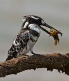 Oiseau avec des poissons dans le bec   Images stock