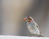 Oiseau avec la graine dans la bouche Photos libres de droits
