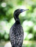 Oiseau avec le plumage de Black&white et avec des yeux bleus photos stock