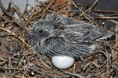 Oiseau avec le poussin dans le nid Photo stock