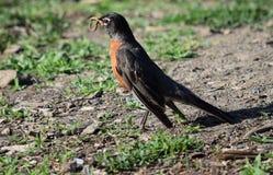 Oiseau avec le ver Photographie stock