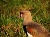 Oiseau avec les yeux rouges Images stock