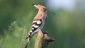 Oiseau avec un goujon d'arrêt sur son chef chantant tout en se reposant sur un tronçon d'arbre sec banque de vidéos