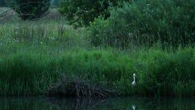 Oiseau blanc à la rivière banque de vidéos