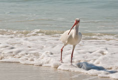 oiseau blanc d'IBIS Photos stock