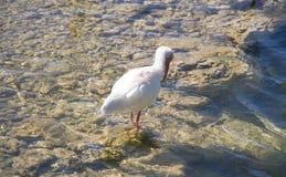Oiseau blanc d'IBIS sur le lac Photos libres de droits