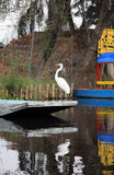 Oiseau blanc de héron, sur un bateau dans les canaux de Xochimilco Images stock