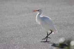 Oiseau blanc de héron de la Floride Photographie stock libre de droits