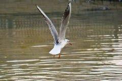 Oiseau blanc de mouette dans l'eau dans le lac photographie stock