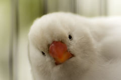 Oiseau blanc de pinson Photo stock