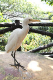 Oiseau blanc en parc d'oiseau de kilolitre Photo stock
