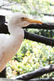 Oiseau blanc en parc d'oiseau de kilolitre Image libre de droits