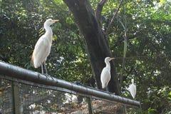 Oiseau blanc en parc d'oiseau de kilolitre Photos libres de droits