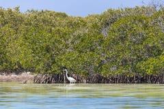Oiseau blanc grand de héron photos stock