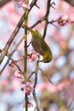 Oiseau blanc japonais d'oeil sur l'arbre rose de fleurs de cerisier Photos libres de droits