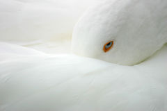 Oiseau blanc - oie Image stock