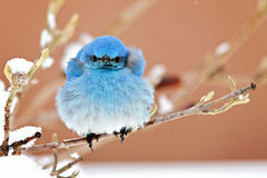 Oiseau bleu ébouriffé par le vent images stock
