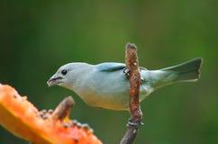 Oiseau bleu Photo stock